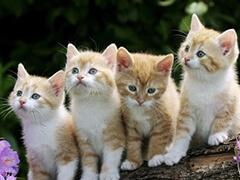 东营猫舍繁育宠物猫活体 现货下单当天立即发货