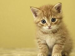 东营品种齐全猫舍 现货出售 可上门挑选 全国空运包邮