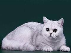 东营网红猫咪 正规商家 签订协议 包退换