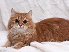 东营出售幼猫加菲猫 品类全 可视频挑选