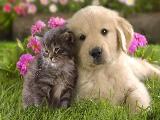 CFA認證資質 企業貓舍 貓咪包純種包健康 好養喲