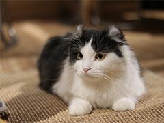 家养纯种短毛猫健康三包品质好血统可查