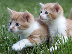自家貓舍繁育一窩加菲包純種 包健康