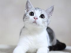 野性外表溫柔家貓性格 時尚 漂亮 孟加拉寶寶
