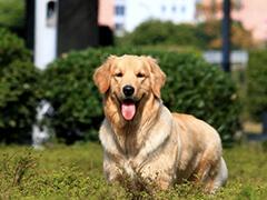 东营出售极品纯种韩系泰迪犬 欢迎上门挑选购买